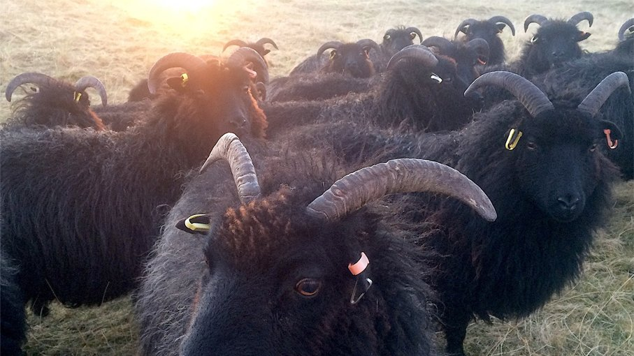Dark brown Hebridean sheep are gathered in a field as the sun sets, casting a golden orange glow over their fleeces.